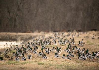 ducks on bank (1 of 1)